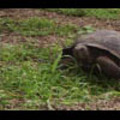 Thumbnail Royalty Free Stock Footage : Turtle : NL00403