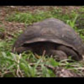 Thumbnail Royalty Free Stock Footage : Turtle : NL00404