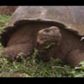 Thumbnail Royalty Free Stock Footage : Turtle : NL00406