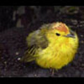 Thumbnail Royalty Free Stock Footage : Birds : NL00409