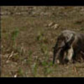 Thumbnail Royalty Free Stock Footage: Venezuela Anteater: NL00416