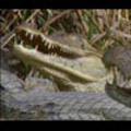 Thumbnail Royalty Free Stock Footage: Alligator: NL00418