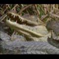 Thumbnail Royalty Free Stock Footage: Alligator: NL00418