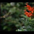 Thumbnail Royalty Free Stock Footage: Venezuela Hummingbird: NL00423