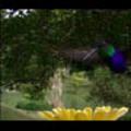 Thumbnail Royalty Free Stock Footage: Venezuela Hummingbird: NL00425