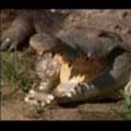 Thumbnail Royalty Free Stock Footage: Venezuela Crocodile: NL00426