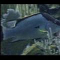 Thumbnail Royalty Free Stock Footage : Fish : NL00438