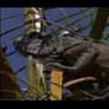 Thumbnail Royalty Free Stock Footage: Venezuela Iguana: NL00439