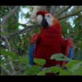 Thumbnail Royalty Free Stock Footage: Venezuela Birds: NL00444