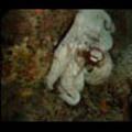 Thumbnail Royalty Free Stock Footage: Venezuela Octopus: NL00448