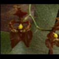 Thumbnail Royalty Free Stock Footage: Venezuela Orchid: NL00450