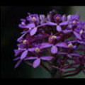 Thumbnail Royalty Free Stock Footage: Venezuela Orchid: NL00452