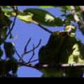 Thumbnail Royalty Free Stock Footage: Venezuela Birds: NL00455