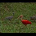 Thumbnail Royalty Free Stock Footage: Venezuela Birds: NL00464