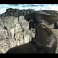Thumbnail Royalty Free Stock Footage : Seals : NL00479