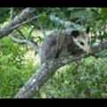 Thumbnail Royalty Free Stock Footage: Opossum: NL00489