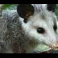 Thumbnail Royalty Free Stock Footage: Opossum: NL00502