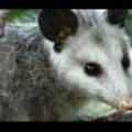 Thumbnail Royalty Free Stock Footage: Opossum: NL00502