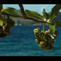 Thumbnail Royalty Free Stock Footage: Fiji: NL00522