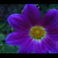 Thumbnail Royalty Free Stock Footage: Flower: NL00558