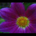 Thumbnail Royalty Free Stock Footage: Flower: NL00559