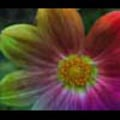 Thumbnail Royalty Free Stock Footage: Psychedelic Flower: NL00565
