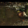 Thumbnail Royalty Free Stock Footage : Duck : NL00629