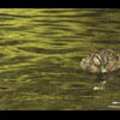 Thumbnail Royalty Free Stock Footage : Duck : NL00632