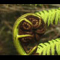 Thumbnail Royalty Free Stock Footage : Fern : NL00634