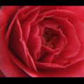 Thumbnail Royalty Free Stock Footage : Rose : NL00635