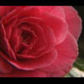 Thumbnail Royalty Free Stock Footage : Rose : NL00636