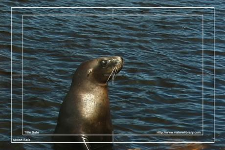 Pay for Royalty Free Stock Footage: Seal: NL00152