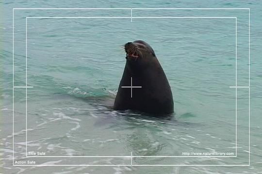 Pay for Royalty Free Stock Footage : Sea Lion : NL00395