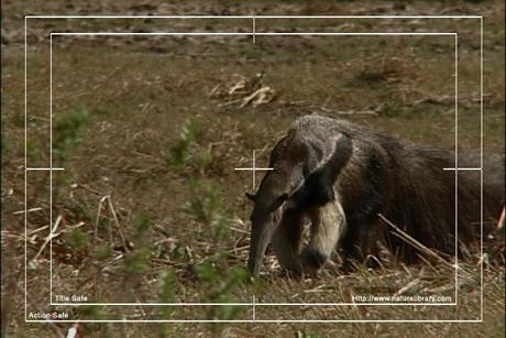 Pay for Royalty Free Stock Footage: Venezuela Anteater: NL00416