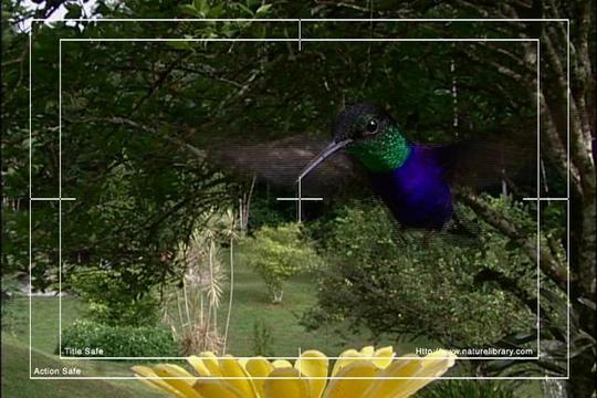 Pay for Royalty Free Stock Footage: Venezuela Hummingbird: NL00425