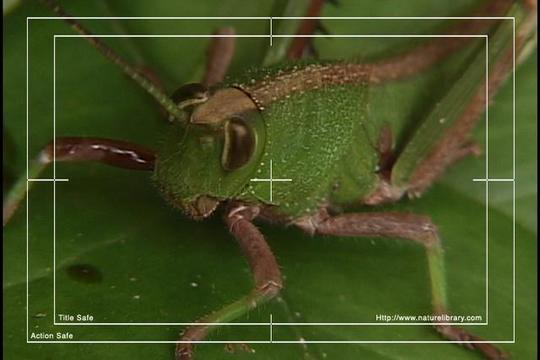 Pay for Royalty Free Stock Footage: Venezuela Grasshopper: NL00436