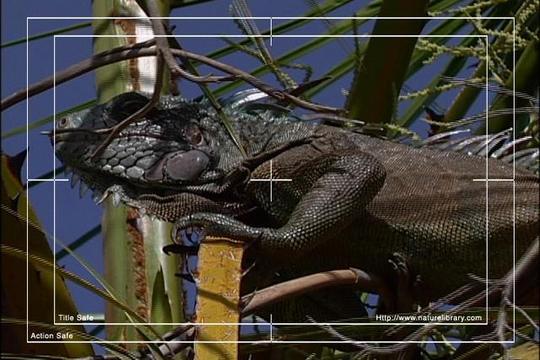 Pay for Royalty Free Stock Footage: Venezuela Iguana: NL00439