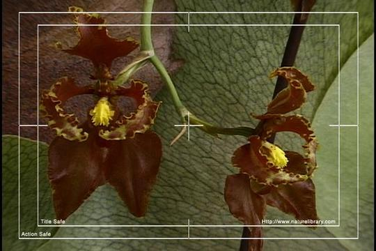 Pay for Royalty Free Stock Footage: Venezuela Orchid: NL00450