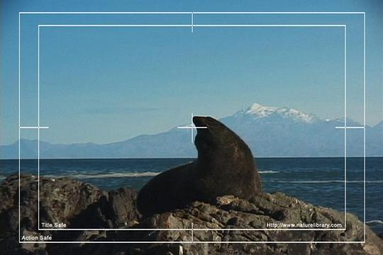 Pay for Royalty Free Stock Footage: New Zealand Fur Seal: NL00477