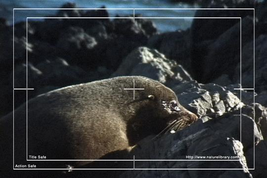 Pay for Royalty Free Stock Footage : Seals : NL00478