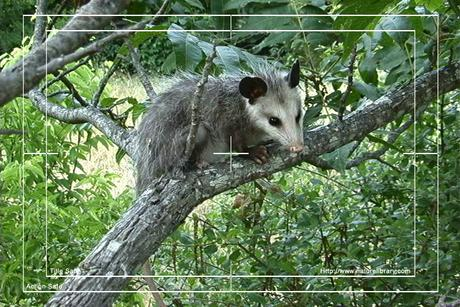 Pay for Royalty Free Stock Footage: Opossum: NL00489