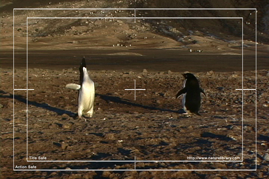 Pay for Royalty Free Stock Footage: Antarctica Penguins: NL00534
