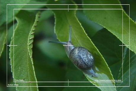 Pay for Royalty Free Stock Footage: Snail: NL00561