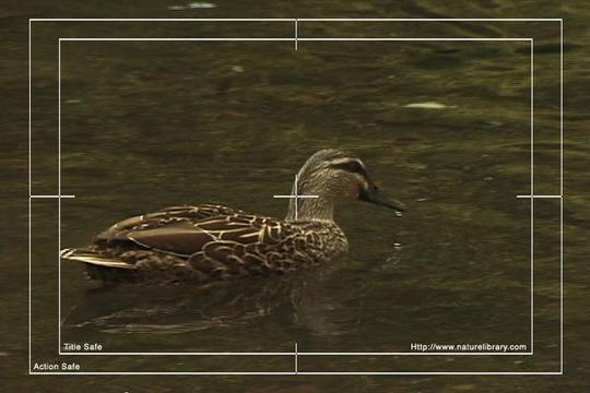 Pay for Royalty Free Stock Footage : Duck : NL00631