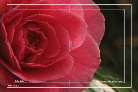 Pay for Royalty Free Stock Footage : Rose : NL00636
