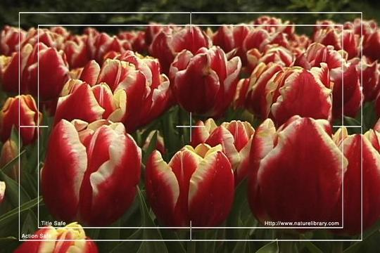 Pay for Royalty Free Stock Footage : Flowers : NL00637