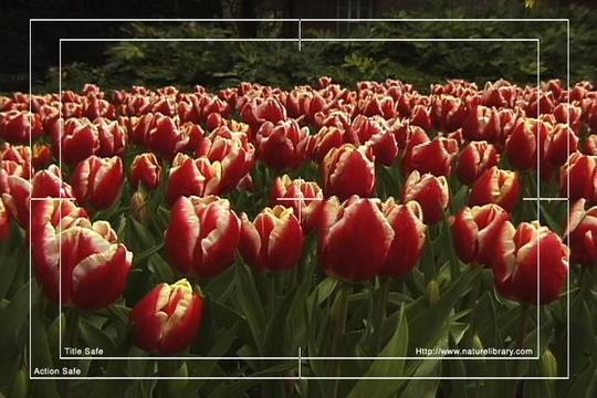 Pay for Royalty Free Stock Footage : Flowers : NL00638