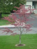 Thumbnail Small Red Tree