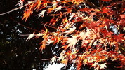 The close-up of autumnal leaves
