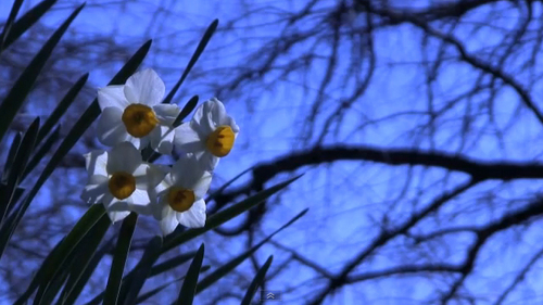 Pay for The narcissus(paper white) in the park of winter.